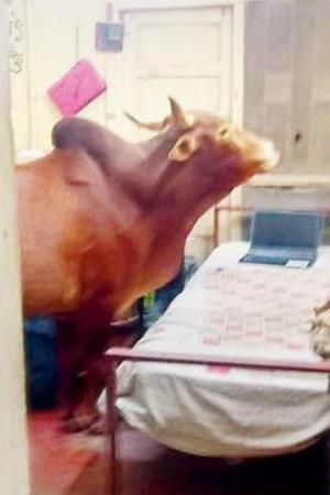 Cow IITB