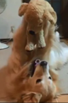 dog playing with her stuff toy