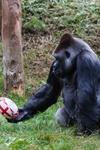 Gorilla Rugby