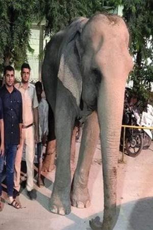Lakshmi Elephant