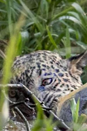 The fight went on for nearly 10 minutes with the jaguar finally killing the crocodile