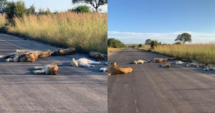 lion napping on road