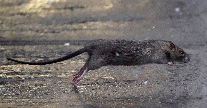 Rat Evolution