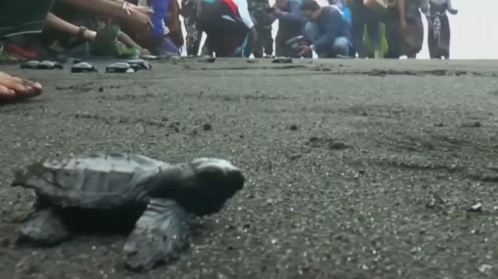 Bali sea turtles set free