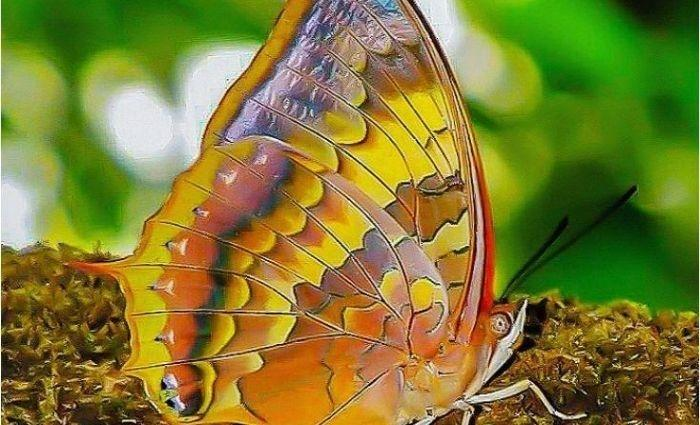 Butterly Name: Charaxes psaphon