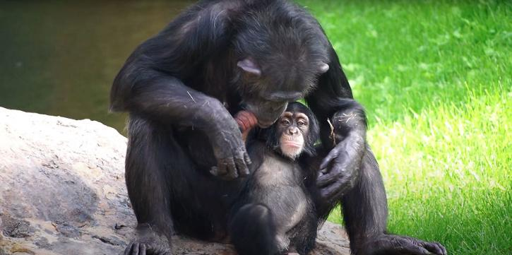 chimp gets adopted