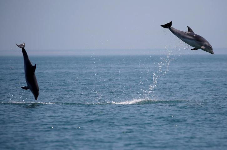 Dolphins leaping is also known as porpoising