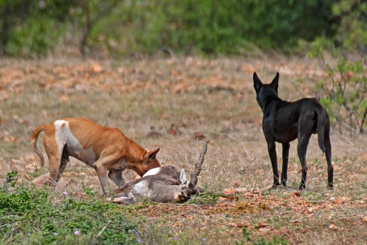 Feral Dogs, Feral Dog Attack, Turahalli forest, Turahalli forest Bangalore, Turahalli forest Deers, Turahalli forest Feral Dogs