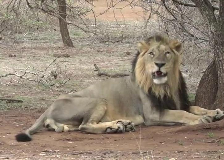radio collared lion in india, radio collared lions, radio collared lions Gujarat, CDV Lions, Gujarat Lions, Lion Population In India