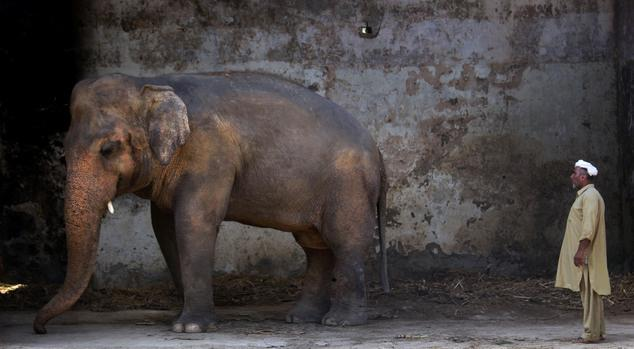 The plight of Kaavan, a mentally tormented bull elephant confined to a small pen in an Islamabad Zoo