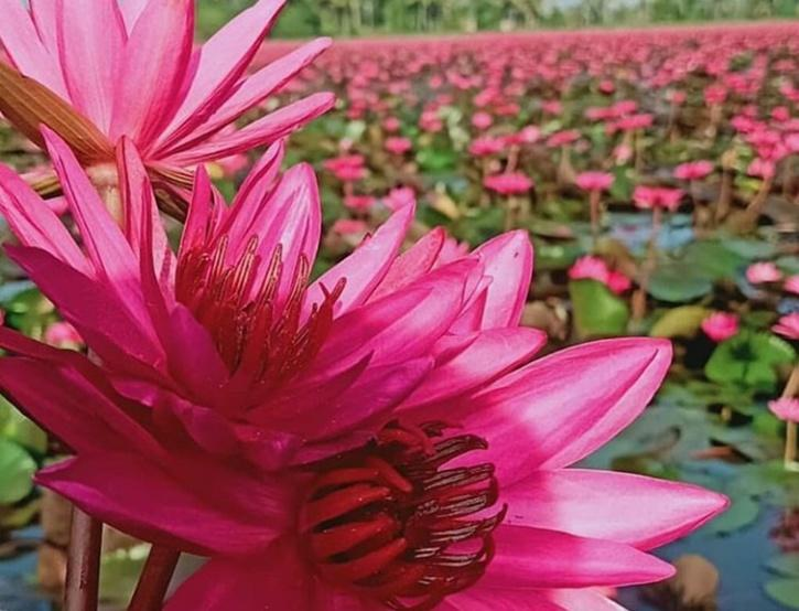 malarikkal, malarikkal tourism, malarikkal Kottayam, malarikkal Water Lily, malarikkal aambal, malarikkal  Sunset