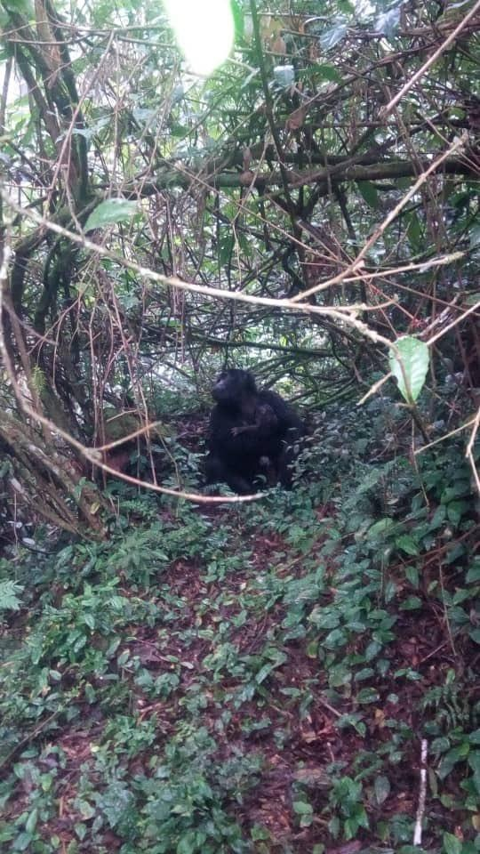 Gorilla Babies Born In Bwindi Park