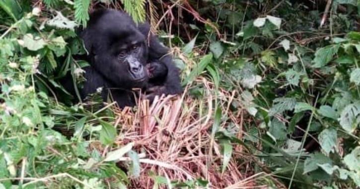 Gorilla Babies Born In Uganda