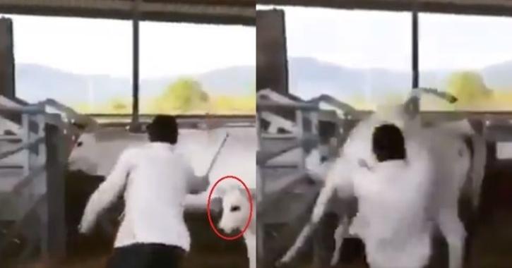 Calf kicks man