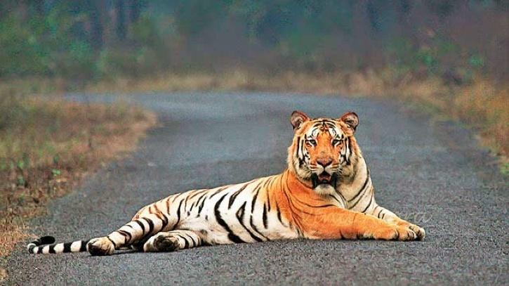 Jai Tiger