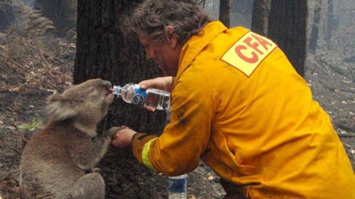 Koalas Australian Bushfires Rescue