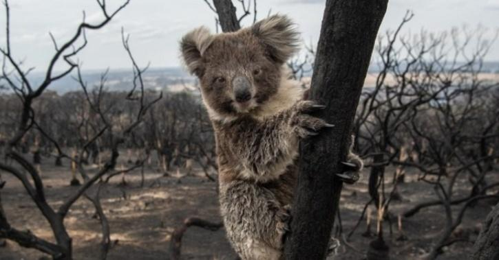 Australia Koala Habitat Under Threat Of Logging