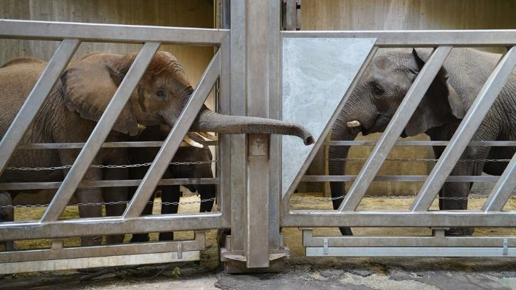 Elephant greet each other after almost a decade