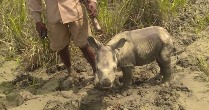 Rhino Calf rescued
