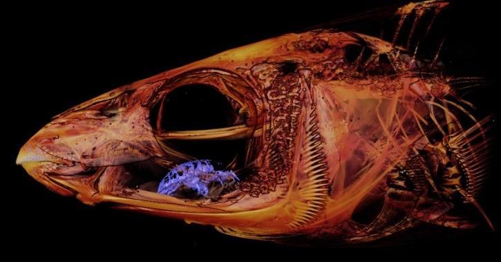 tongue eating isopod parasite