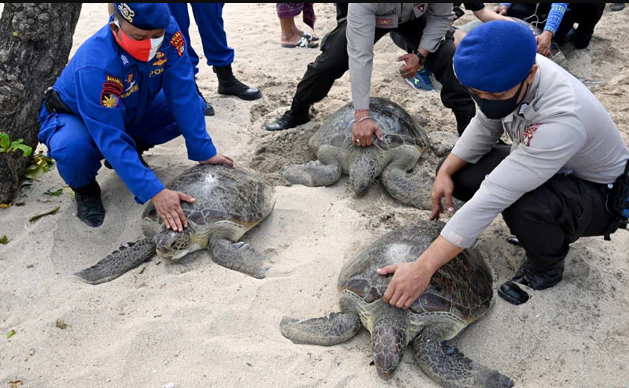 Two Dozen Bali Sea Turtles Set Free After Poacher Arrests