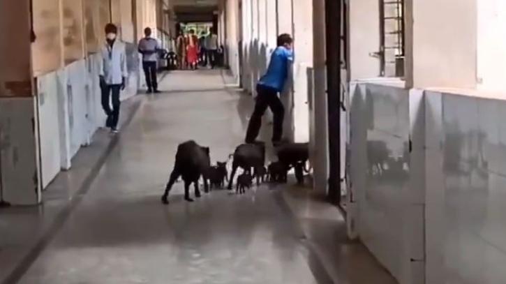 Raichur, Raichur Hospital, Raichur COVID-19 Hospital, Raichur Hospital Pig, Karnataka COVID-19 Hospital Pig, Stray Pigs