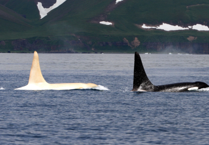 leucistic whale spotted in Alaska