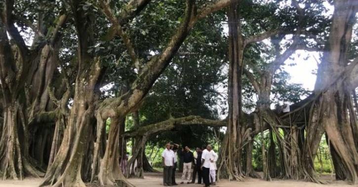 banyan tree assam