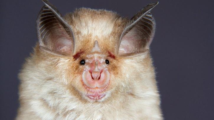 horsehoe bats