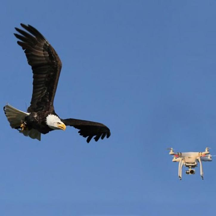 Eagle tackling drone