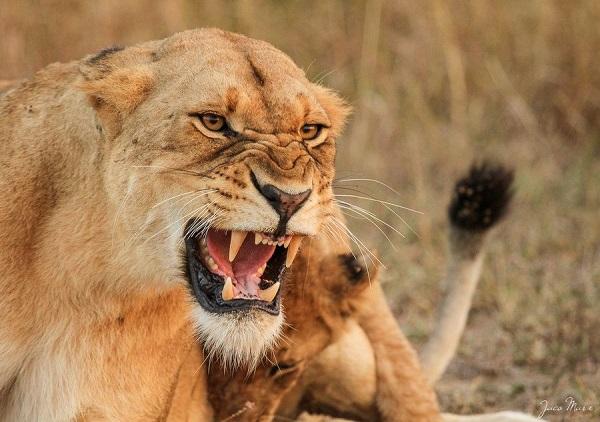 lioness attacks man.