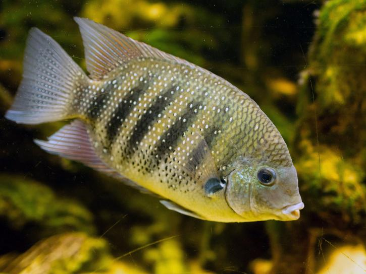 pearl spot fish