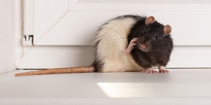 Rat transmitted disease