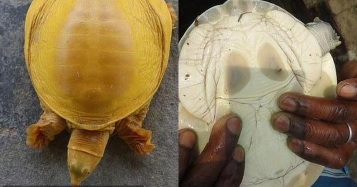 Golden Turtle