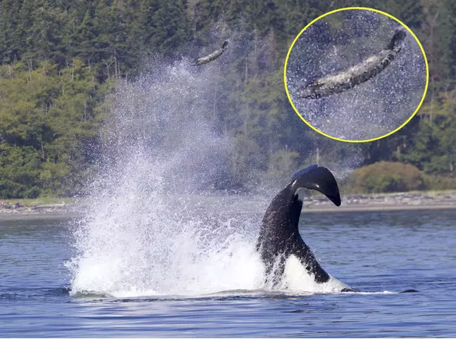 Whale flings seal with tail