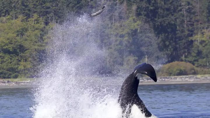 Whale flings seal