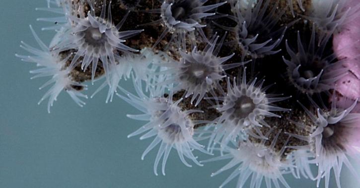 black corals discovered in atlantic ocean