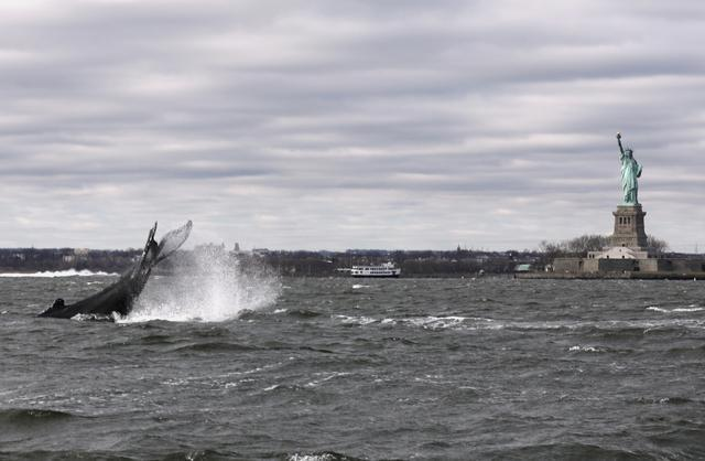 A humpback whale surfaces near the Statue of Liberty