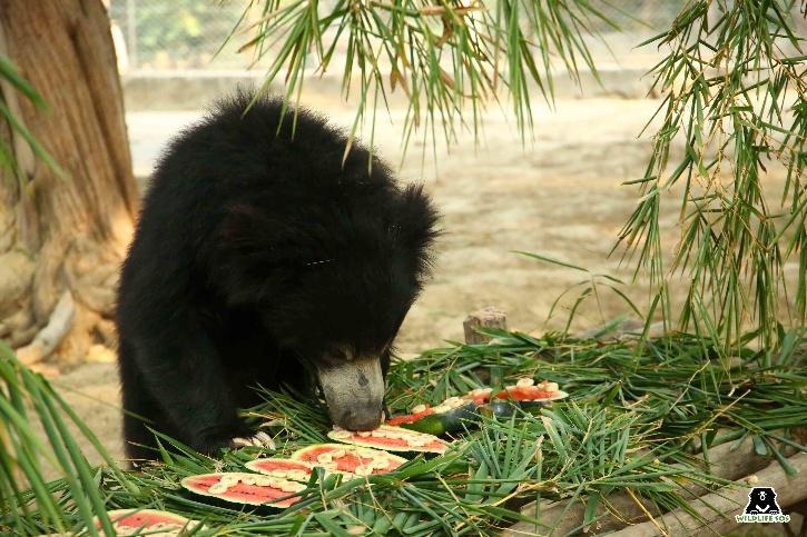 Illegal Wildlife Trafficking, Sloth Bears, Sloth Bear Trafficking, Sloth Bear Parts Use, Sloth Bear India, Wildlife SOS