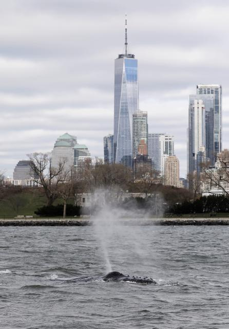 A humpback whale surfaces near One World Trade Center in this photo taken from a boat on New York Harbor