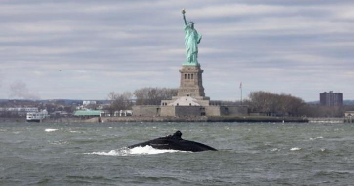 A humpback whale surfaces near the Statue of Liberty in this photo taken from a boat on New York Harbor in New York City