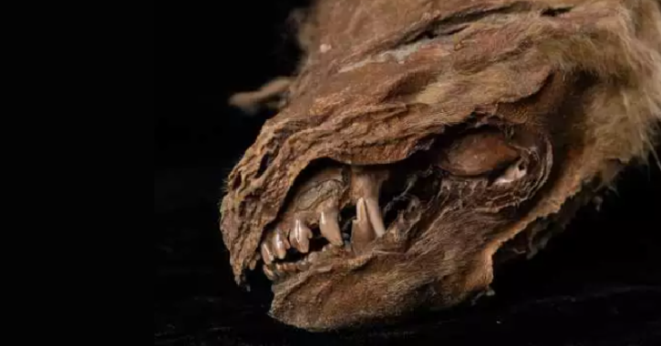 wolf pup mummy recovered in permafrost