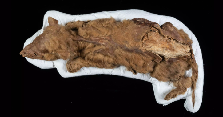 57,000-Year Old Wolf Pup Found Mummified In Permafrost