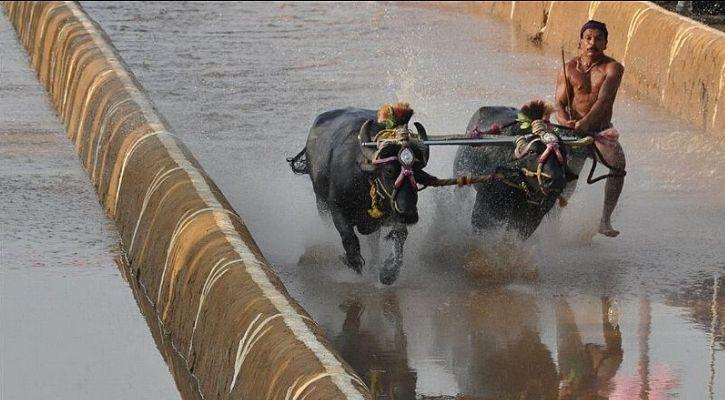 Kambala Race
