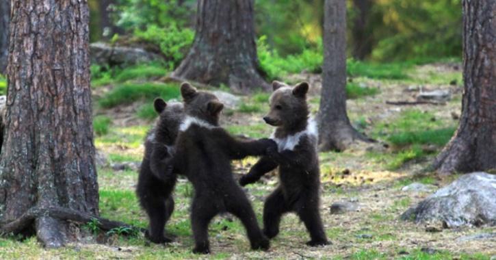 Finland: Teacher 3 Bear Cubs Dancing & Playing Like Human Kids