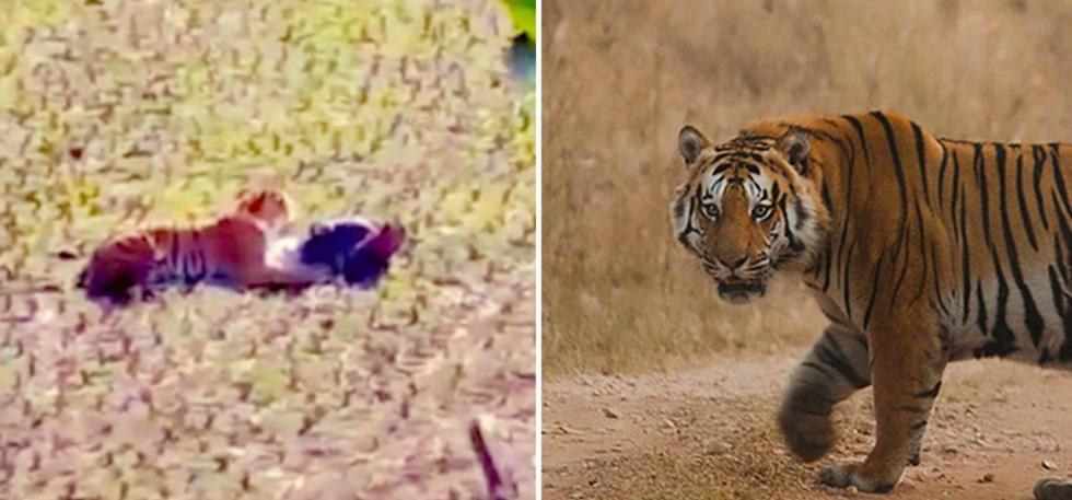 man vs tiger