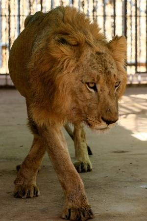sudan lion starving
