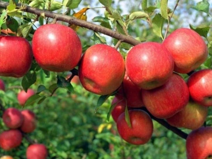 apple-cultivation-5e33be5bdc11a
