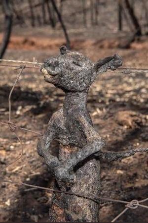 Affected Animals Bush Fire