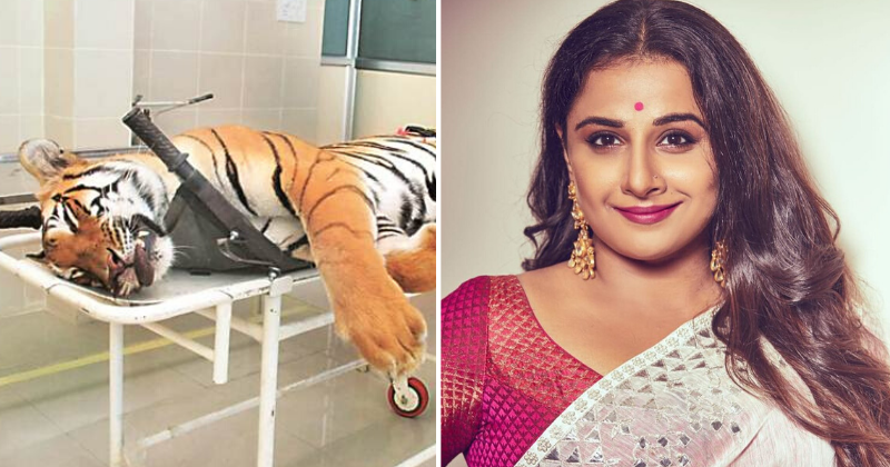 Vidya Balan To Star In Film Inspired By Killing Of Avni, Tigress Who Was Blamed For 13 Deaths